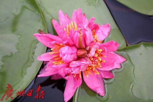 广州出现七蒂睡莲 这难道是祥瑞征兆吗?