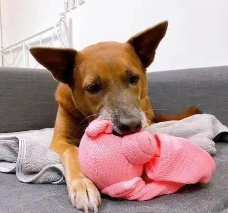 别偷拿!狗狗爱上粉红猪,用下巴守护,不让饲主拿