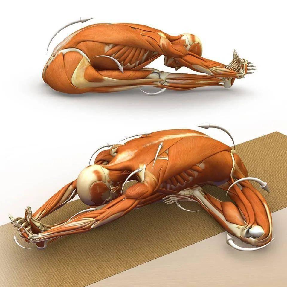 28个常见瑜伽体式解剖图,正位、发力一目了然(收藏级!)