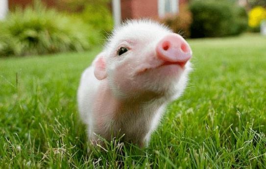 985硕士学位产后护理护理罢工母猪