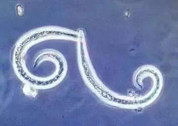 钉螺是寄生虫的中间宿主,如 南昌联思触