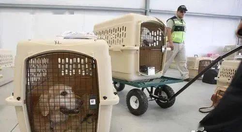 黑心!中国留学生花8万托运宠物,差点没命!疫情带猫狗回国,警惕无良中介!