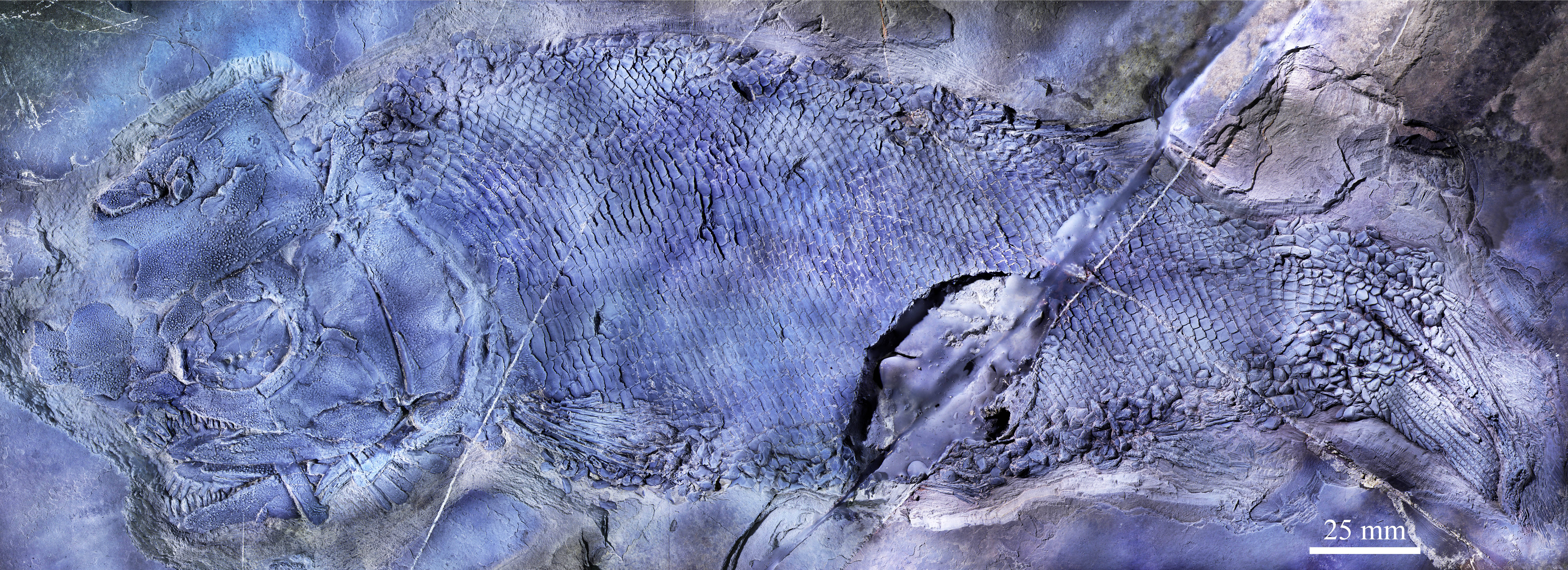 云南罗平首现云南暴鱼化石,见证三叠纪海洋生物复苏