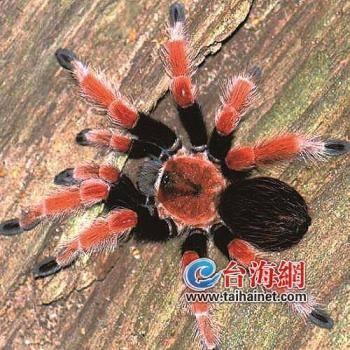 这种中美洲蜘蛛有毒性不能饲养!厦门宠物爱好者购买五只短尾蛛属被查获