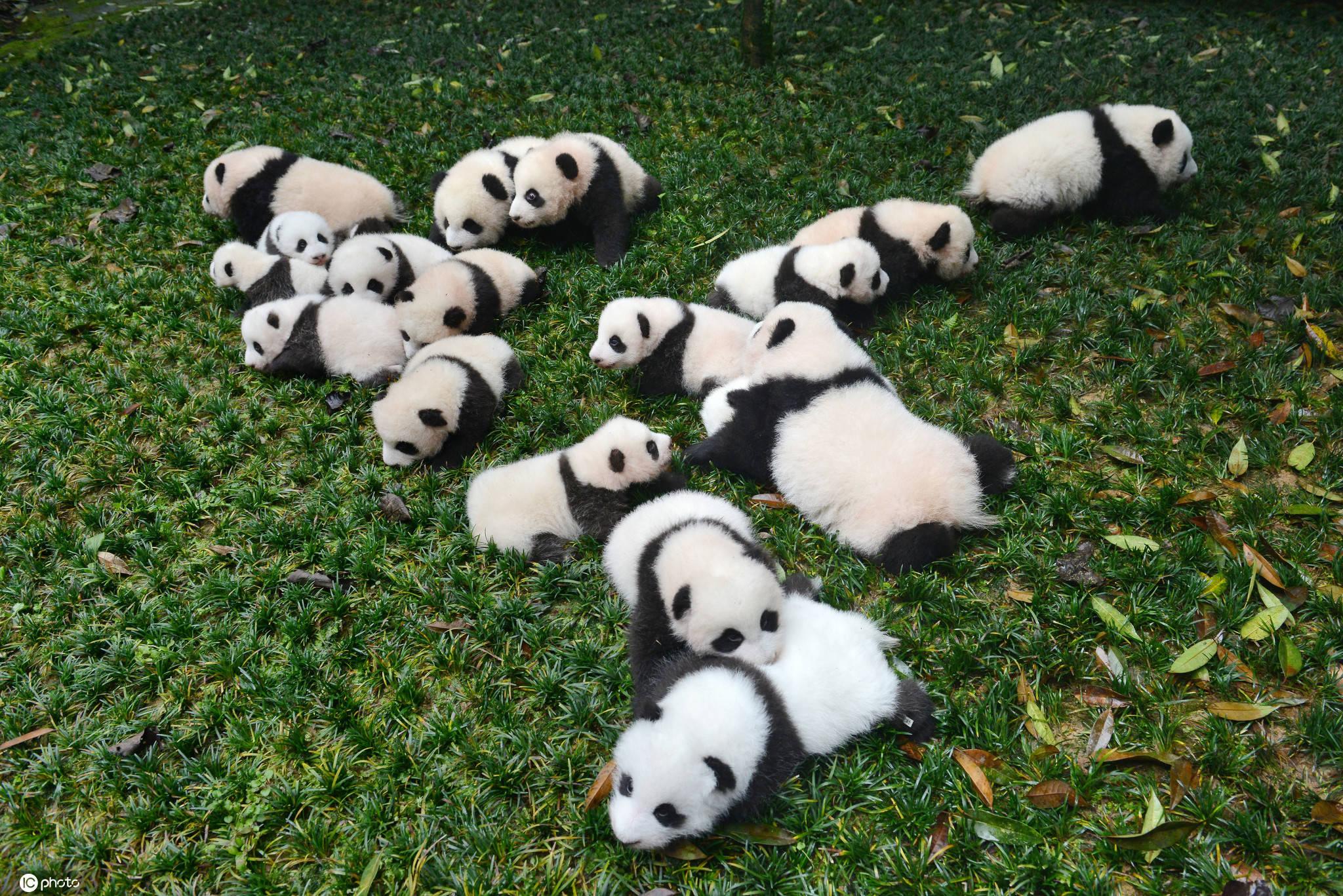 国际熊猫日个个都是行走的表情包
