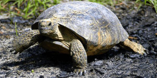 """60岁乌龟""""出逃""""自家围栏 跨越美国两县后被返还"""