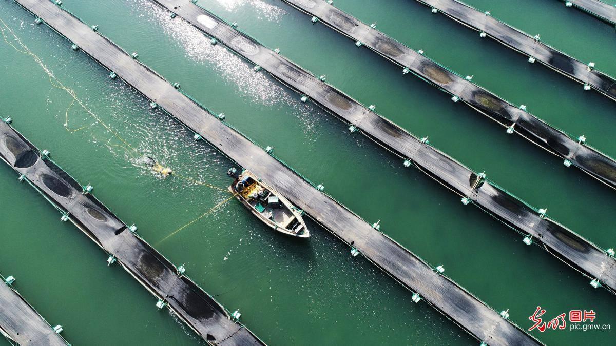 Aquaculture industry booming in Rongcheng, E China's Shandong