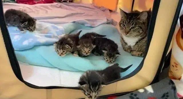 """女子捡到一窝猫,带回去让家猫照顾,猫咪""""喜当爹""""一脸不情愿"""