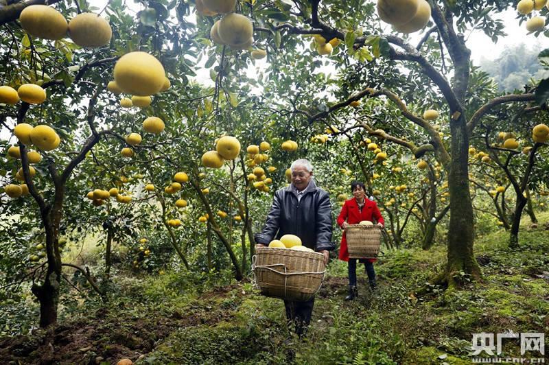 第三届长江三峡国际柚博会今天开幕
