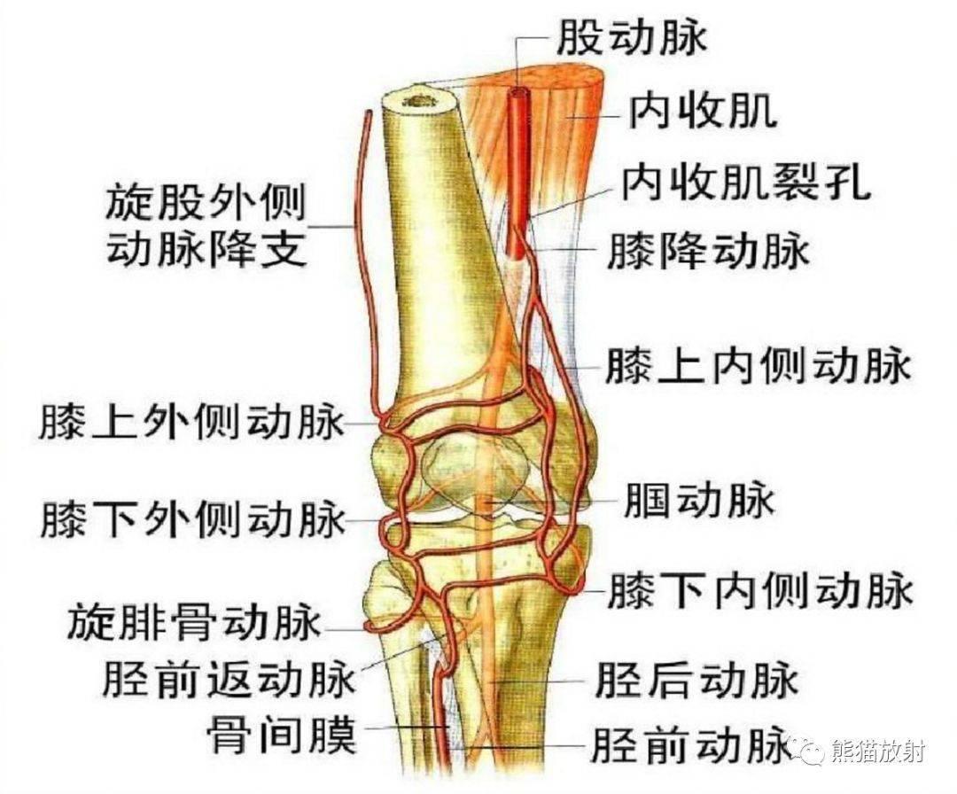 下肢血管解剖图彩超