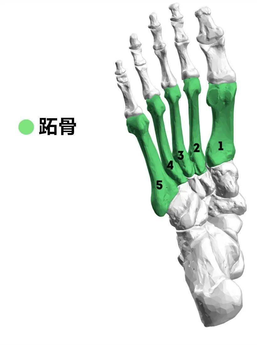 下肢血管3d解剖图