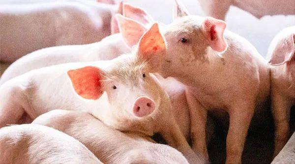 """始料未及!""""猪坚强""""又来,短期涨价出现扩大迹象,什么情况?进口冻肉面临消费难题,2021继续涨?  第2张"""