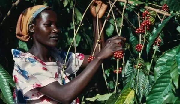 几个小众咖啡产地的咖啡,你了解吗 博主推荐 第4张