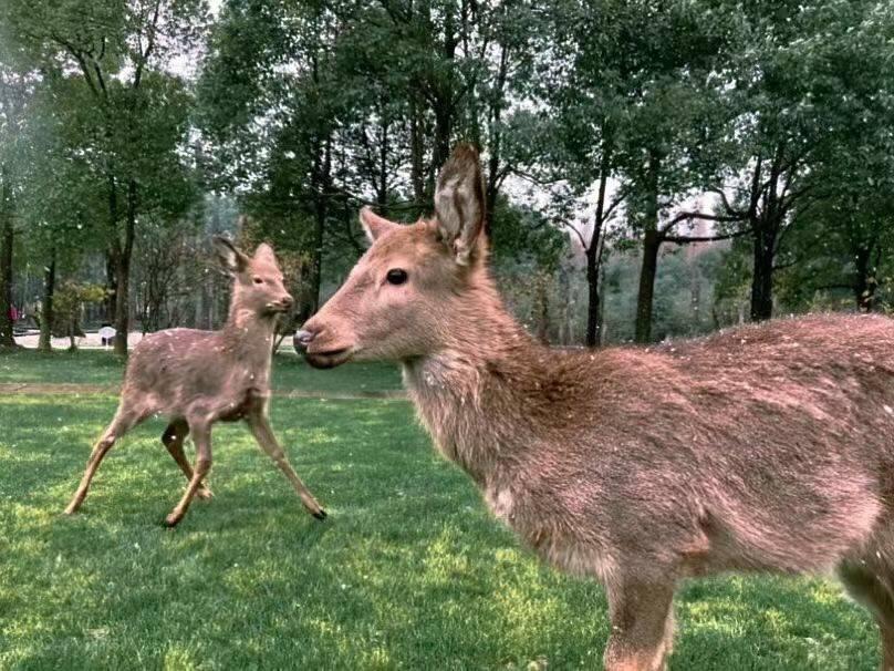 第一次看雪 金沙鹿苑里的它们跟成都人一样激动