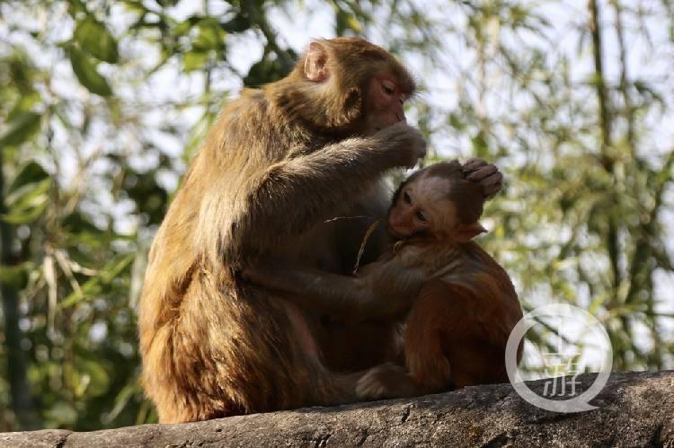 游客观景晒太阳  猴子出来凑闹热