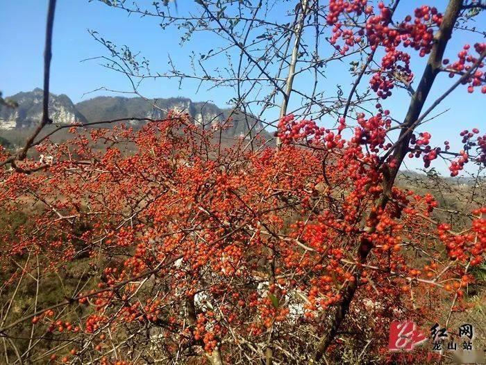 洛塔冬日美景:火棘果红满枝头(图)