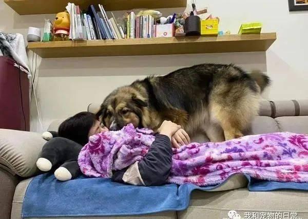 35kg大狗狗把主人当人肉床垫,饲主直呼:大腿跟肋骨都隐约疼痛!