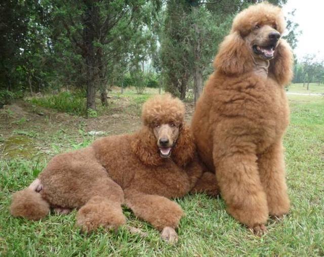 巨型泰迪犬多少钱一只(巨型泰迪犬为什么这么贵)插图(6)