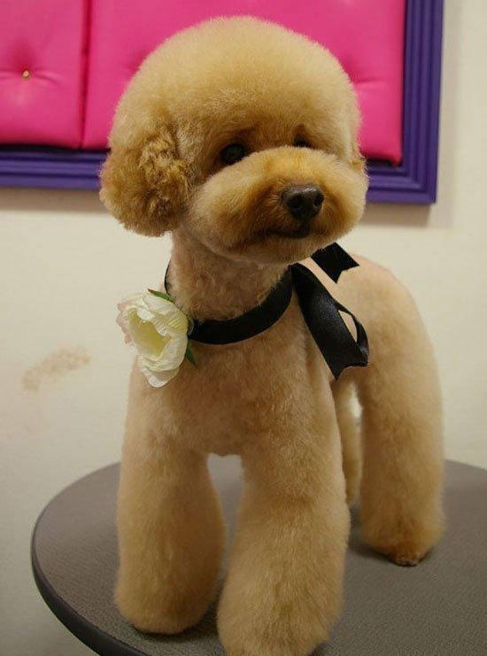 巨型泰迪犬多少钱一只(巨型泰迪犬为什么这么贵)插图(4)