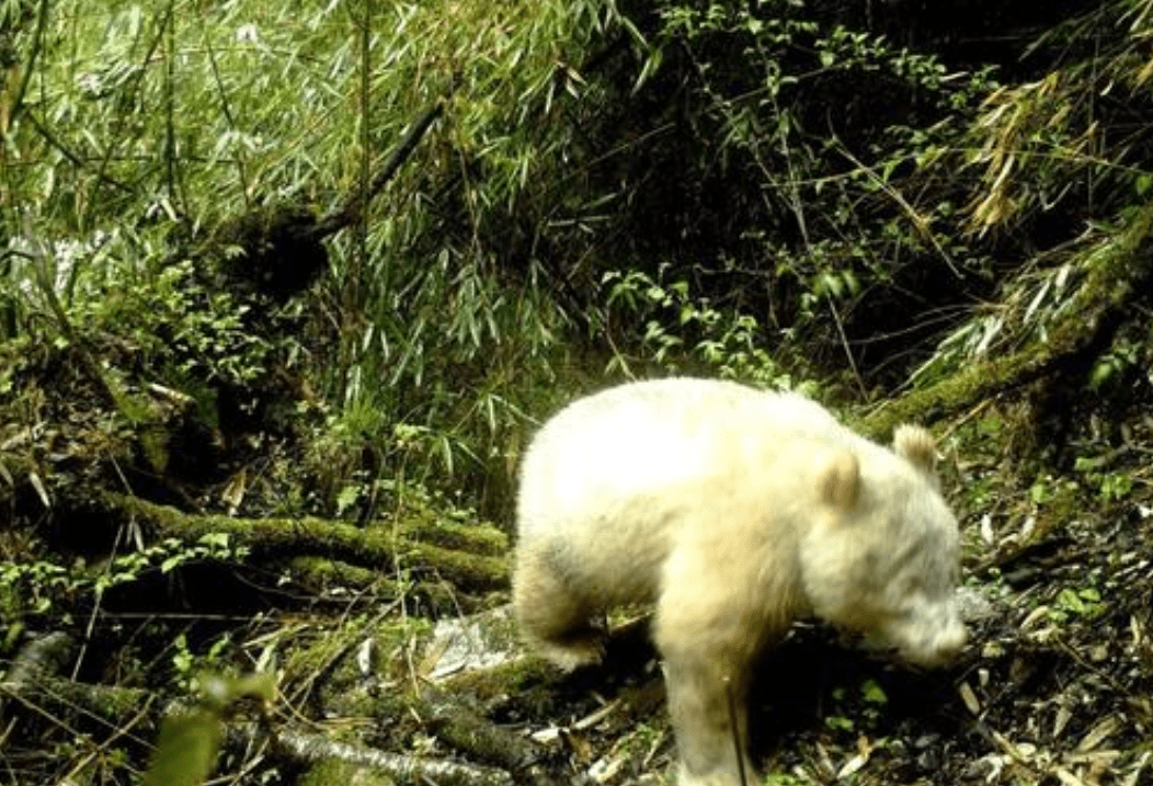 野生大熊猫增至1864只,会不会迁徙邻国,成非中国独有物种?
