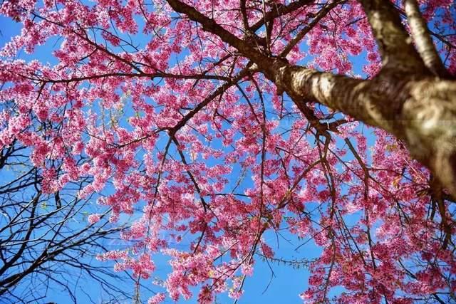 粉色浪漫席卷昆明 樱花海赏花攻略来了