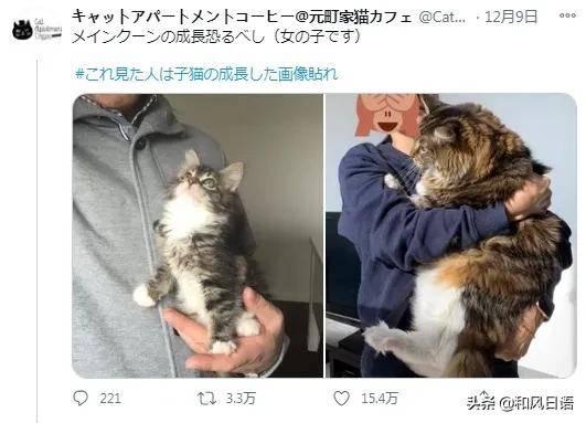 貓咪的成長變化反差引日本網友熱議!這真的是同一只貓!