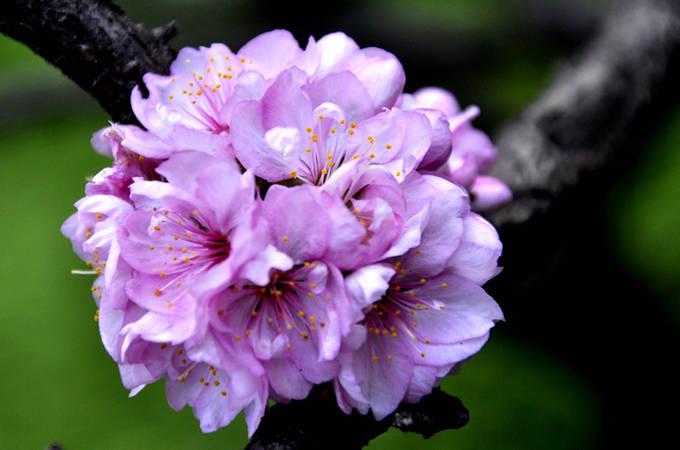 郁李花粉红色图片