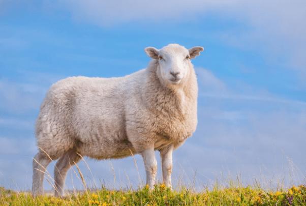 """""""属羊人""""一生宿命和婚配揭秘,何时能享清福?何时荣华富贵?"""