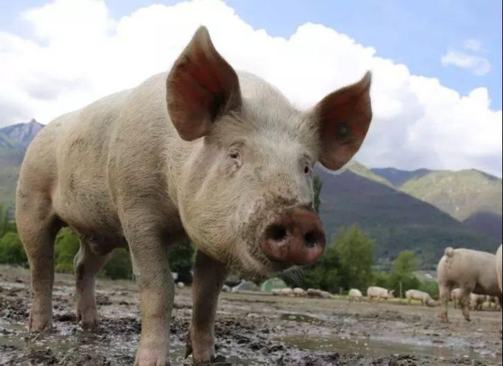 """明天2月,猪人必有""""大喜"""",来接喜,再不接就晚了!  第1张"""