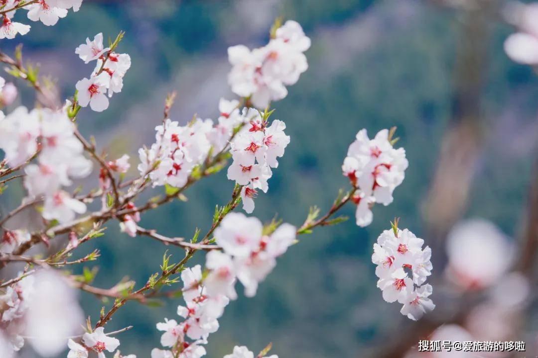 2021年林芝桃花季攻略来袭,今年赏花就靠它了!