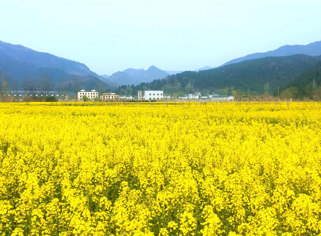 广元羊木镇千亩油菜花竞相绽放,花开成海,小伙伴们都去打卡了?