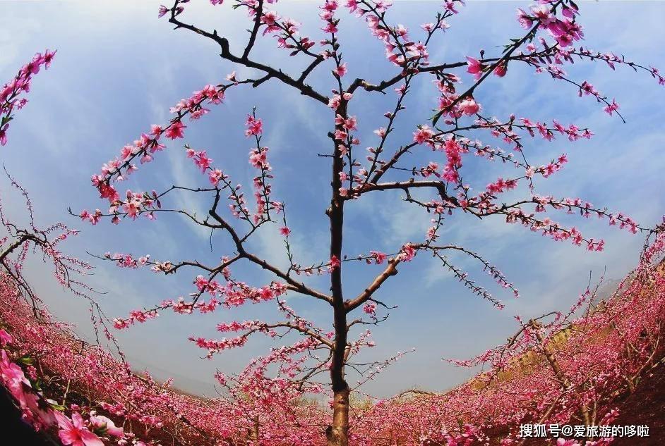 被誉为世界第五大地貌的沂蒙崮顶桃花盛开,穿汉服还免门票!