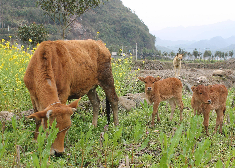 梦见牛四处乱跑代表什么 梦见牛乱跑是什么预兆