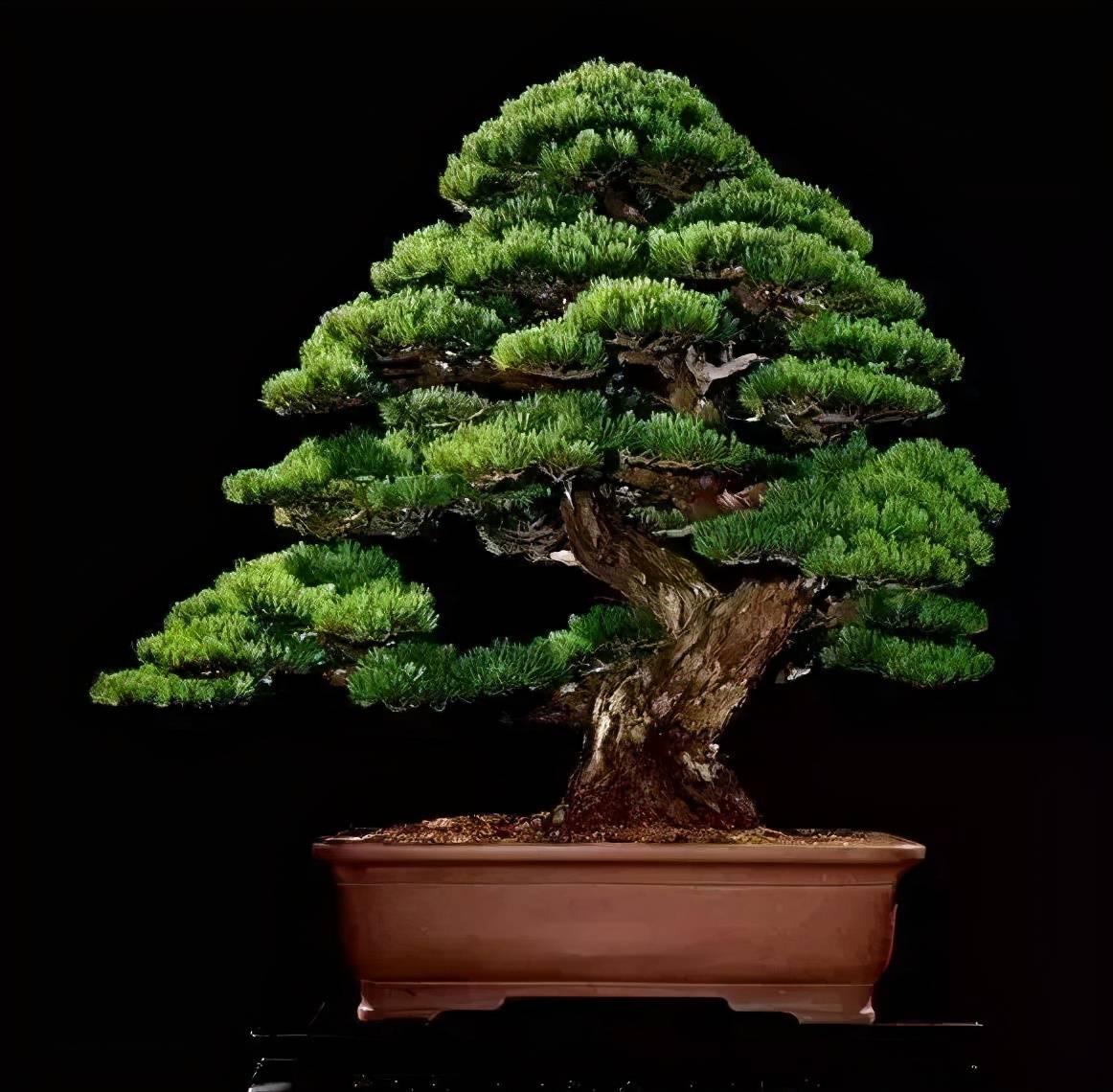 千年松万年柏,做成盆景传几代!  柏树什么时候做造型