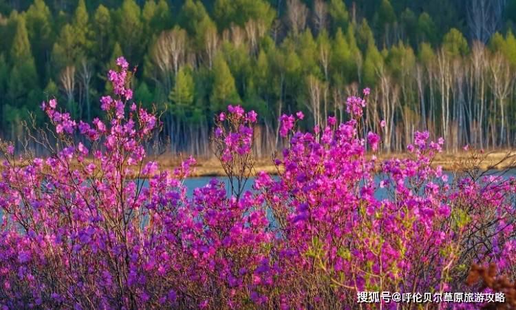 呼伦贝尔春季旅游的看点是什么?有什么特色?