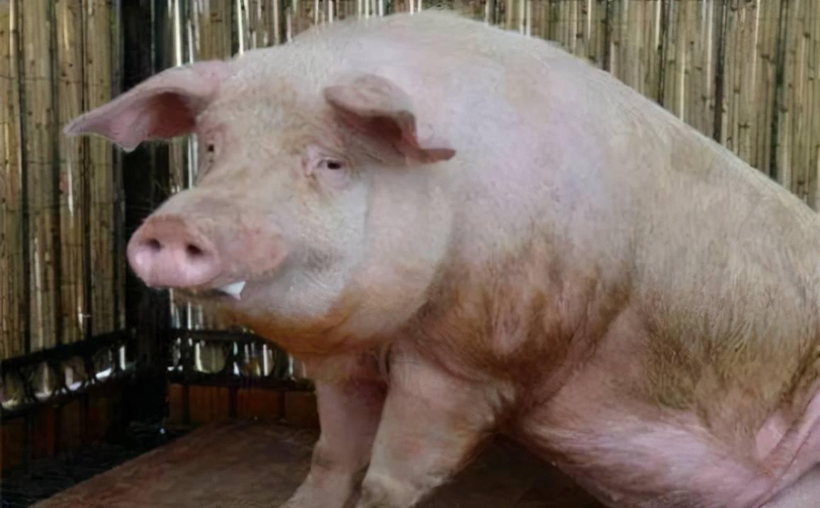 梦见我家的猪生病了 梦见别人家的猪生病了打针