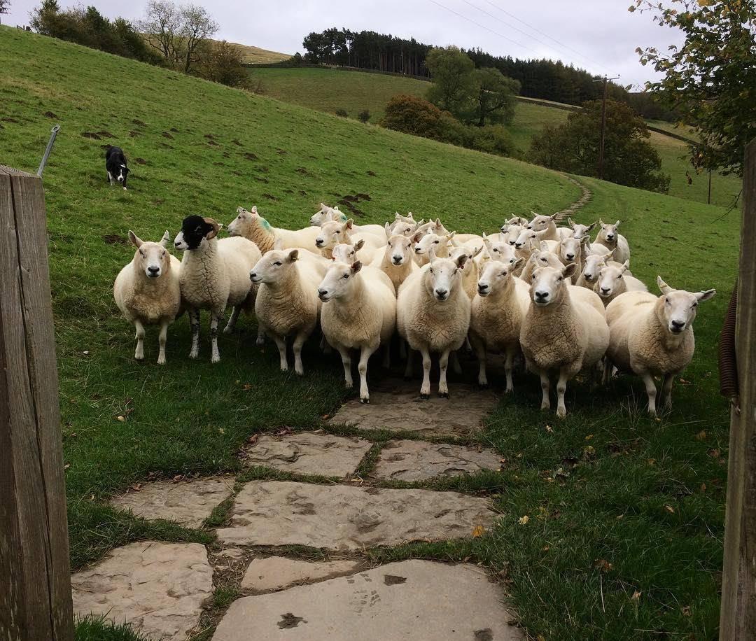 女人梦见一大群羊奔跑 女人梦见一群白色的羊
