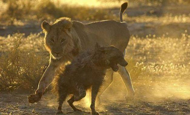 在非洲,森林一哥和二哥地位的争夺
