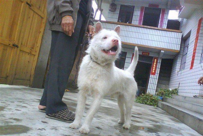 中華田園犬中最著名的5種狗,圖2一般人買不起,圖4是警犬的象徵