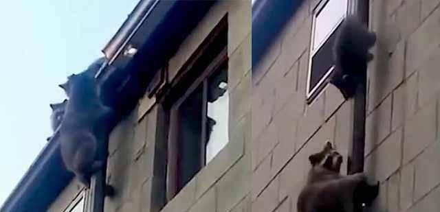 小浣熊變身「蜘蛛俠」,團伙「作案」:飛簷走壁、場面壯觀