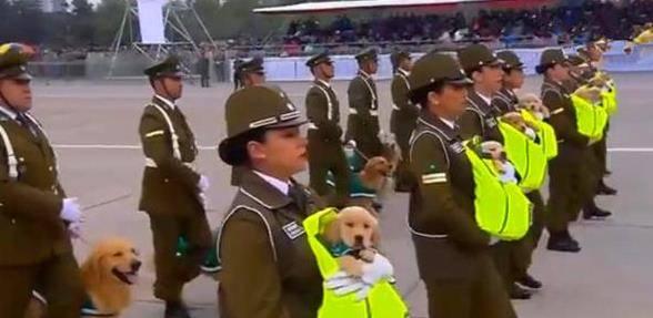 警犬参加阅兵仪式,小金毛一脸状况外,可大狗的表情让众人笑岔气