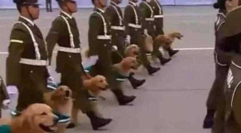 军犬阅兵时笑场,满脸笑嘻嘻,网友:给我严肃点,不准卖萌!