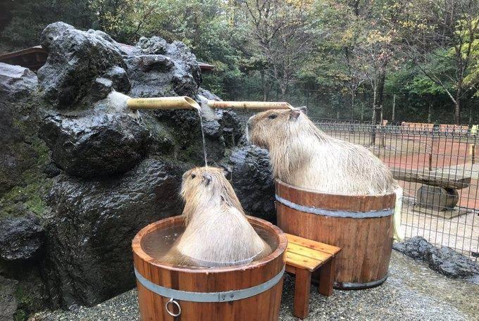 两只水豚一起泡温泉,旁边还有一块特别的布,网友:我想要emv