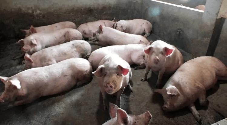 猪价连跌,肉价回落,为何人们却不愿购买了?难道猪肉不香了吗?