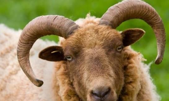 """生肖羊我""""忍""""你很久了,大""""囍""""事又找上你,听说接福旺10年!"""