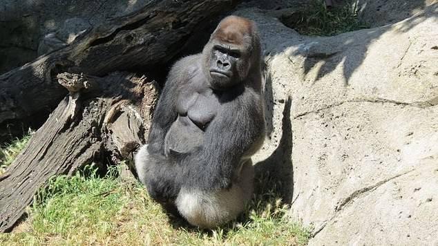 马德里动物园一大猩猩暴打管理员致其骨折重伤