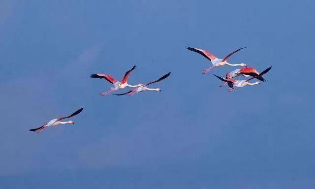 山西运城生态改善,大年初一气温回暖,火烈鸟常年栖息盐湖!  第7张