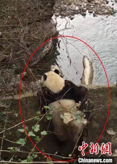 """四川野生大熊猫下山过河来""""拜年"""" 憨态可掬"""