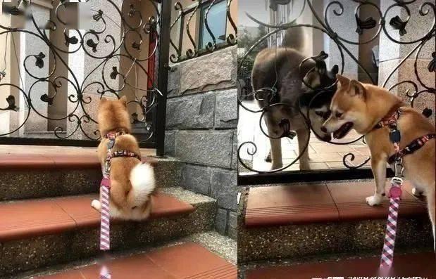 狗朋友二哈去当天使了,柴犬落寞的背影让妈妈不知该怎么说出真相!
