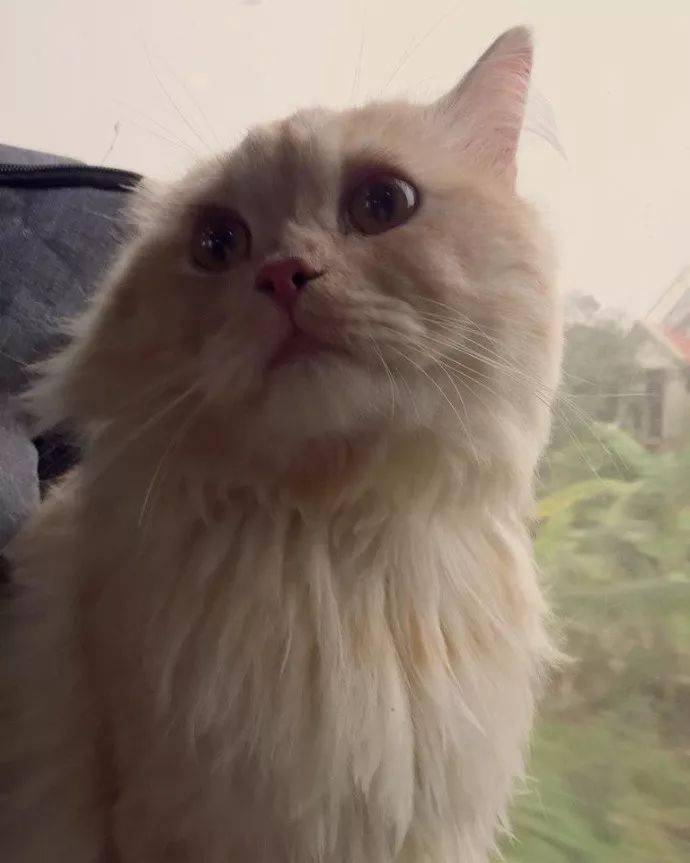 猫咪第一次坐火车,看  风物看呆了,我看猫看呆了...